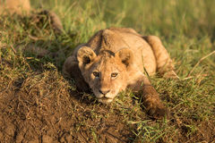 A Lion cub in the Ngorongoro Crater in Tanzania. A young Lion cub in the Ngorongoro Crater in Tanzania Stock Images