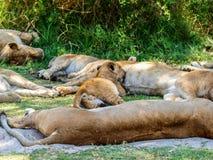 Lion cub nursing Royalty Free Stock Photography