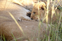 Lion cub nursing Stock Photos