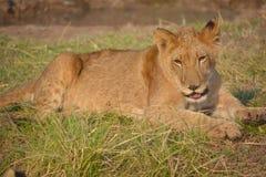 Lion cub Stock Photos