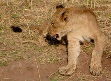 Lion cub Royalty Free Stock Photo