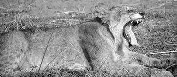 Lion cub Stock Images
