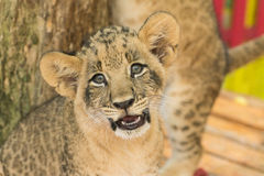 Lion cub in open zoo Royalty Free Stock Photos