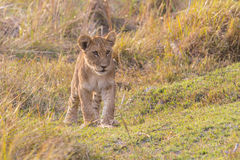 Lion cub out exploring Stock Photo