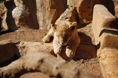 Lion Cub på Lion Park i Sydafrika Royaltyfri Fotografi