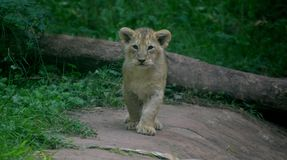 Lion cub from Paignton Zoo. royalty free stock images