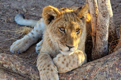 Lion cub. (Panthera leo stock photos