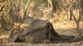 Lion cub (Panthera leo) on African Elephant calf carcass. Looking at camera Stock Photo