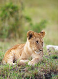 Lion cub (panthera leo) close-up Stock Photo