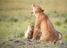 Lion cub (panthera leo) close-up Royalty Free Stock Photography