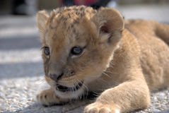 Lion cub. (panthera leo) lying down focusing on a prey royalty free stock images