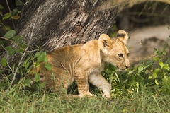 Lion cub (Panthera leo). Walking through grass Royalty Free Stock Image