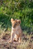 Lion cub on the plains Kenya Stock Image
