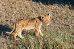 Lion cub on the plains Kenya Stock Images