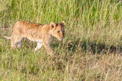 Lion cub on the plains Kenya Royalty Free Stock Image