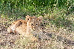 Lion cub on the plains Kenya Stock Photography