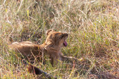 Lion cub on the plains Kenya Stock Photo
