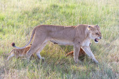 Lion cub on the plains Kenya. mother with her Stock Photos