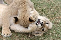 Lion Cub Play Stock Photos