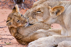Lion cub play with mother on sand Royalty Free Stock Photography