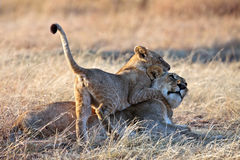 Lion cub played with mom in the morning sun beams. Masai Mara Game Reserve, Kenya Royalty Free Stock Images