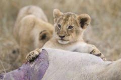 Lion cub playing Royalty Free Stock Image