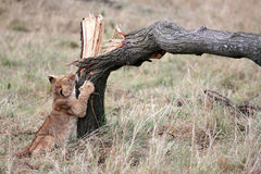 Lion cub playing Masai Mara reserve in Kenya Africa Stock Photo