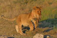 Lion cub playing. With tuft of grass in Etosha National Park, Namibia Royalty Free Stock Photo