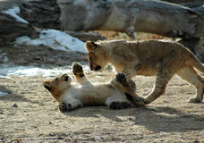 Lion cub Playtime Royalty Free Stock Images