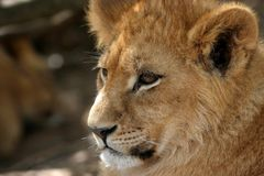 Lion cub portrait. Cute african lion cub looking into the distance stock images