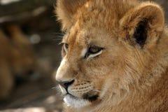 Lion cub portrait Stock Images