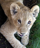 Lion cub portrait Stock Photo