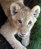 Lion cub portrait. Outdoor portrait of a cute little lion cub looking up Stock Photo
