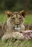 Lion cub portrait Stock Photography