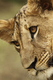 Lion cub portrait Stock Image