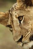 Lion cub portrait Stock Image