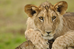 Lion cub portrait. From front view. Lion lying on tree trunk royalty free stock image