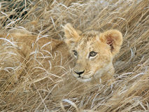 Lion cub portrait. Lion cub laying in grass Royalty Free Stock Image