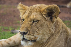 Lion Cub Portrait stanco 1 Fotografie Stock