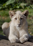 Lion cub portrait Royalty Free Stock Photography