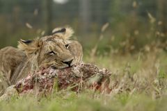 Lion cub with a prey Stock Images