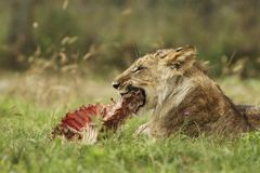 Lion cub with a prey Royalty Free Stock Photography