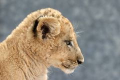 Lion Cub Profile Stock Photo