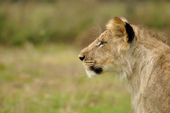 Lion cub profile. Lion cub head in profile from left side on blur background stock photography