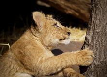 Lion cub. In profile climbing tree royalty free stock photo
