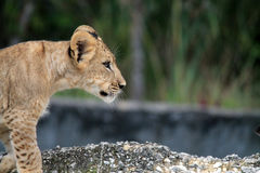 Lion cub in profile Royalty Free Stock Images