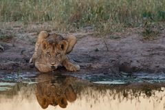 Lion Cub Reflection royaltyfri fotografi