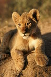 Lion cub Stock Photography
