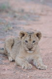 Lion cub. A relax cub lying at ease Royalty Free Stock Photos