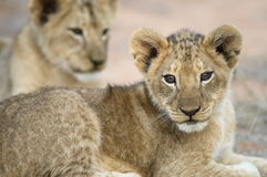 Lion cub. A relax cub totally at ease Royalty Free Stock Photography